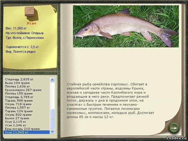 рыба усач на что ловить